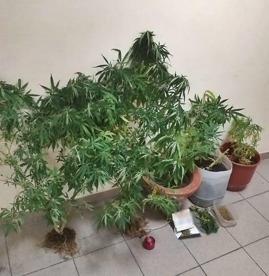 Συνελήφθη ημεδαπός στη Σάμο για καλλιέργεια δενδρυλλίων κάνναβης και κατοχή ναρκωτικών ουσιών