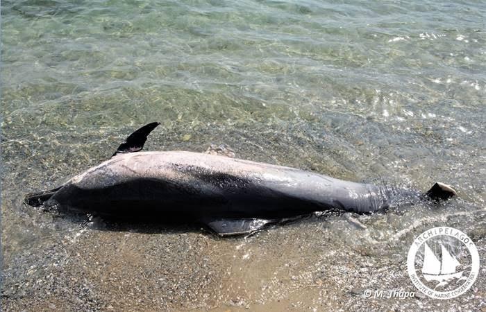 Ινστιτούτο Αρχιπέλαγος: Οι δολοφονίες θαλάσσιων θηλαστικών στο Αιγαίο δυστυχώς συνεχίζονται