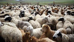 Ξεκινούν έλεγχοι για την σήμανση και την καταγραφή του ζωικού κεφαλαίου