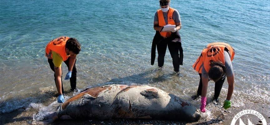 Τρεις νεκρές μεσογειακές φώκιες δυτικά της Σάμου – εφτά συνολικά στο Αιγαίο