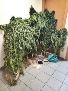 Συνελήφθη ημεδαπός στη Σάμο, για κατοχή, καλλιέργεια και διακίνηση ναρκωτικών ουσιών. Κατασχέθηκαν μεταξύ άλλων, -13- δενδρύλλια κάνναβης και -18- γραμμάρια ακατέργαστης κάνναβης (χασίς)