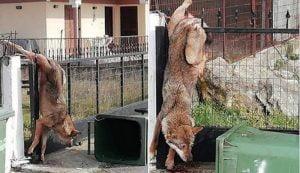 Λύκος παγιδεύτηκε σε καγκελόπορτα σε χωριό της Θεσσαλονίκης