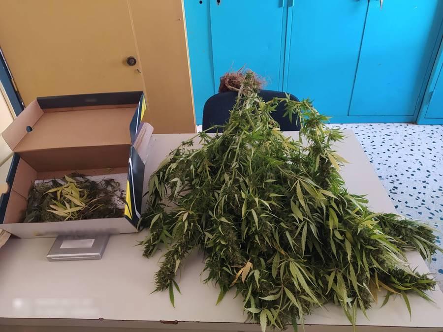 Συνελήφθη ημεδαπός στην Ικαρία για καλλιέργεια δενδρυλλίου κάνναβης και κατοχή ναρκωτικών ουσιών