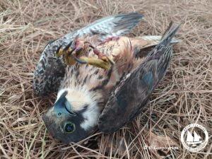 Αρχιπέλαγος: Άλλο ένα σπάνιο γεράκι νεκρό από σκάγια